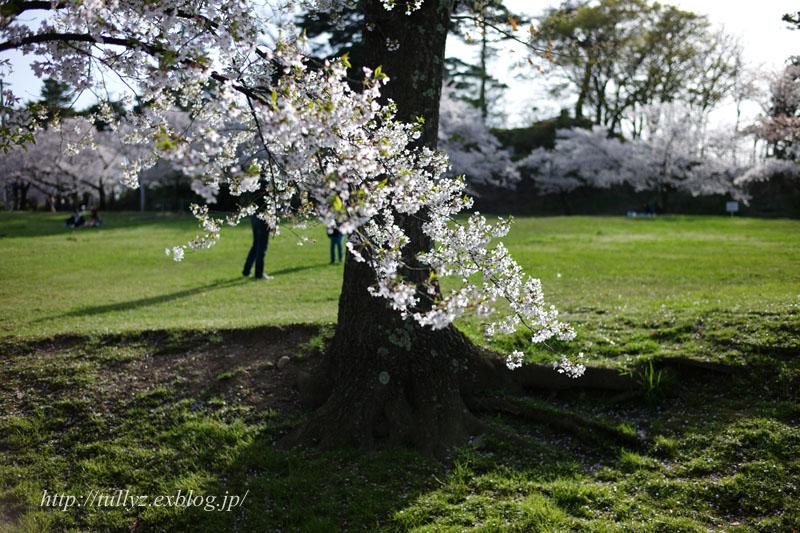 城山公園の桜(2)_d0108132_2265739.jpg