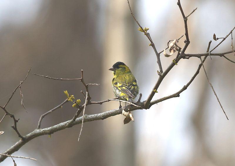 マヒワは、数十羽の群れで行動_b0346933_7182320.jpg