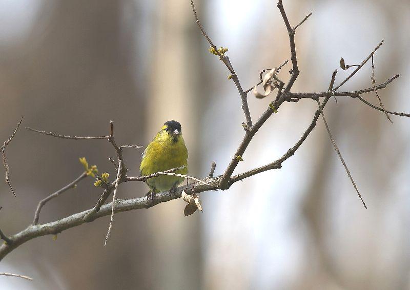 マヒワは、数十羽の群れで行動_b0346933_718872.jpg