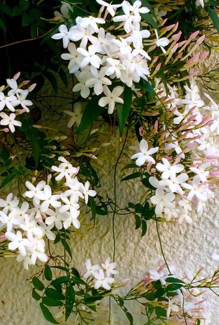 母の日・香しいジャスミンに中国民謡 『茉莉花』(モーリーファ)を口ずさむ♪_a0138976_13454026.jpg