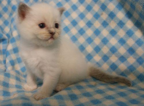 ラグドール子猫 4月9日生まれ家族募集_e0033609_18481652.jpg