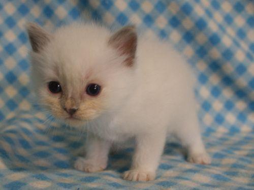 ラグドール子猫 4月9日生まれ家族募集_e0033609_18502263.jpg