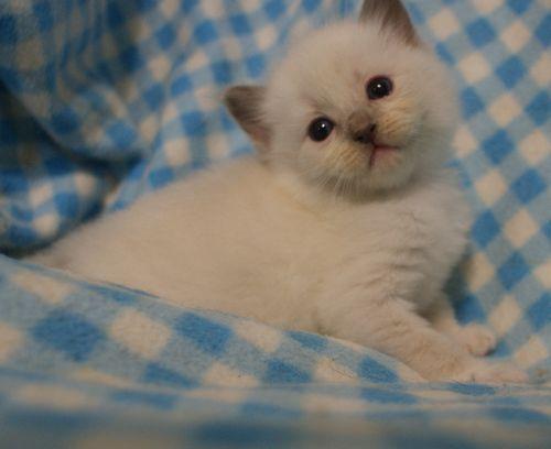 ラグドール子猫 4月9日生まれ家族募集_e0033609_18521591.jpg