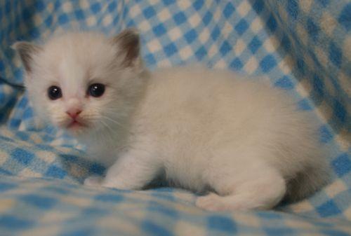 ラグドール子猫 4月9日生まれ家族募集_e0033609_18525132.jpg