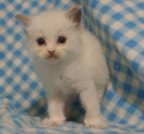 ラグドール子猫 4月9日生まれ家族募集_e0033609_18543486.jpg