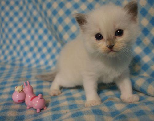 ラグドール子猫 4月9日生まれ家族募集_e0033609_18561181.jpg