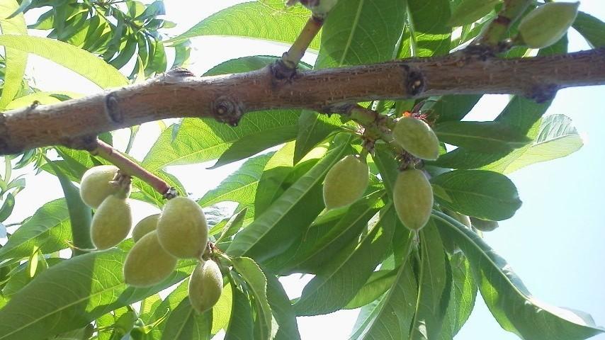 摘果作業 今日は遅いての黄色桃です_f0325525_23481470.jpg