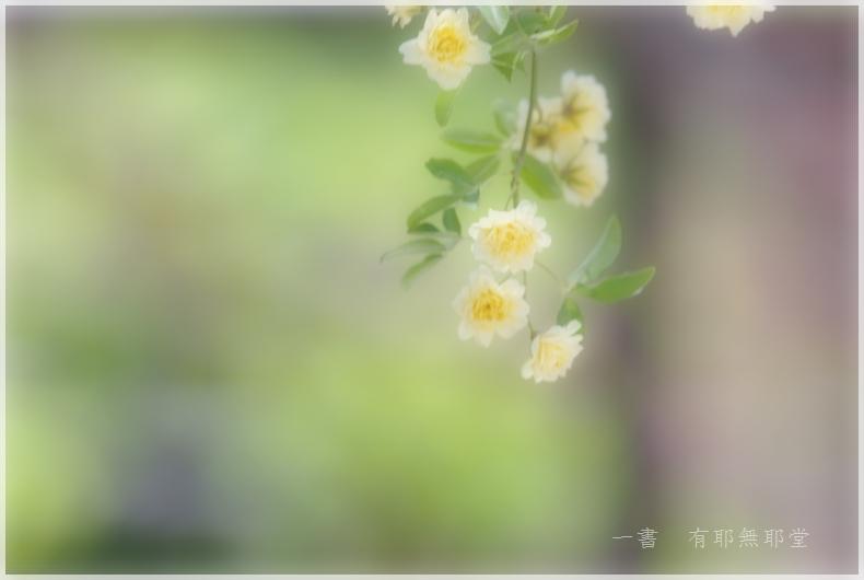 モッコウバラ_a0157263_22112120.jpg