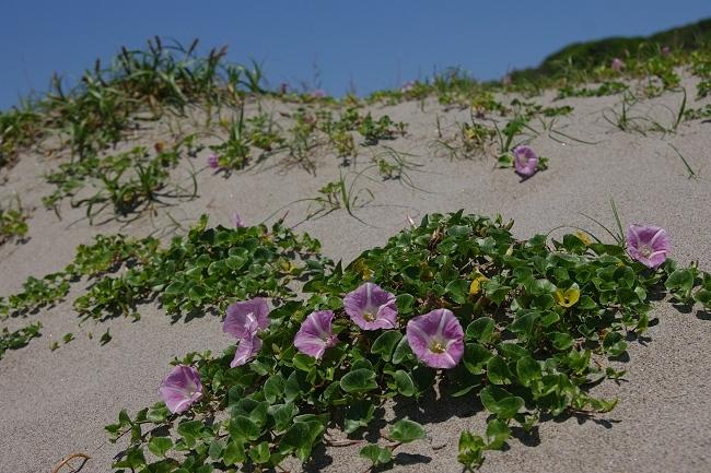 浜の花_c0047422_19464503.jpg