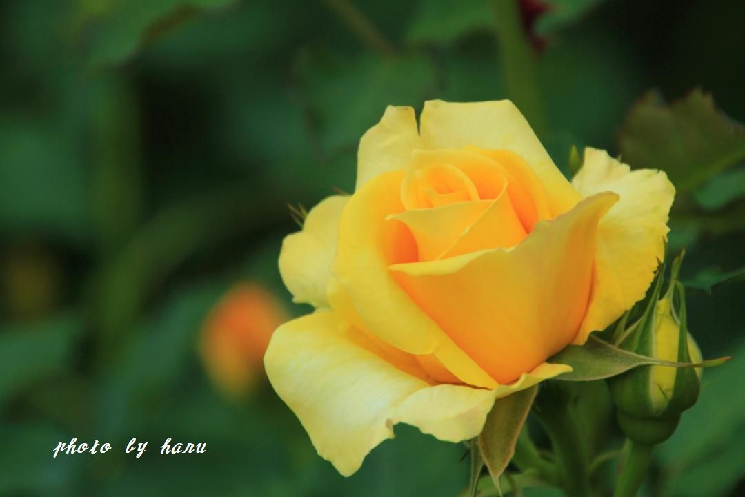 薔薇香る_f0297537_06510765.jpg