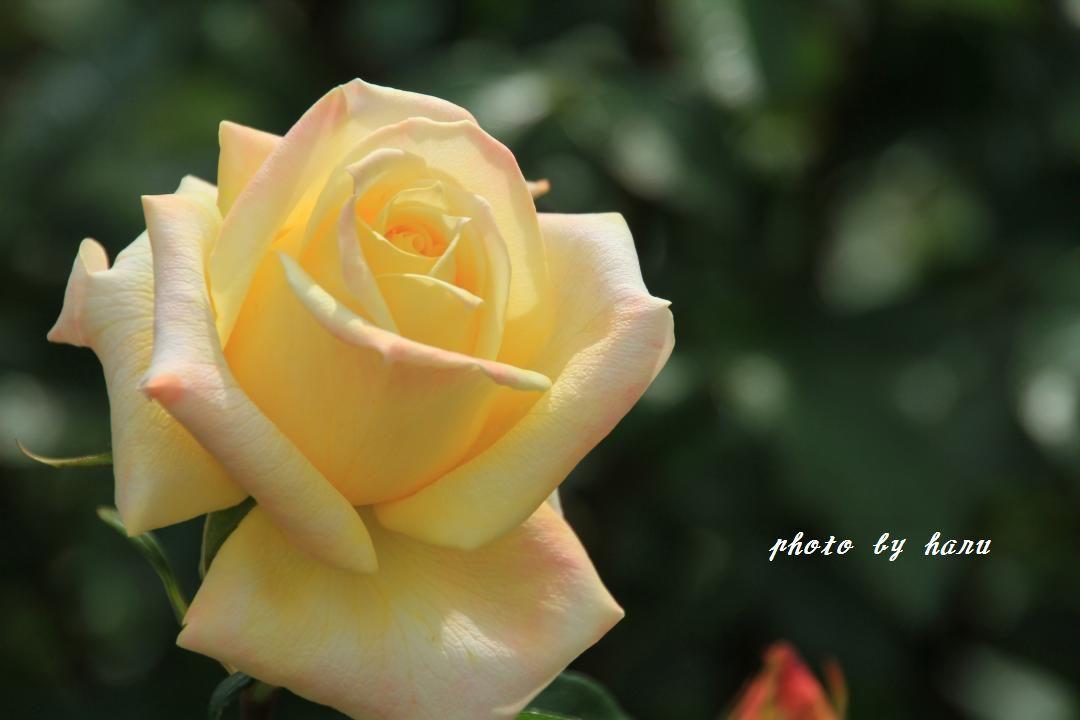 薔薇香る_f0297537_06511182.jpg