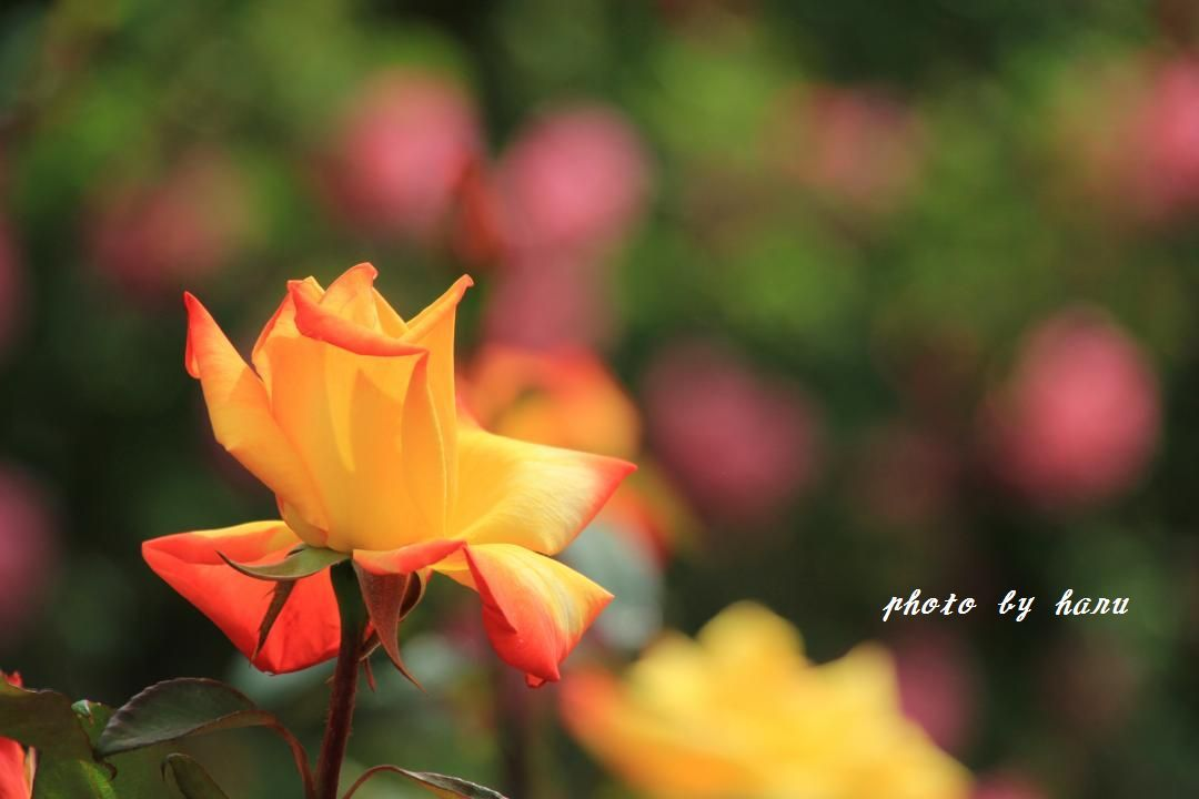 薔薇香る_f0297537_06511973.jpg