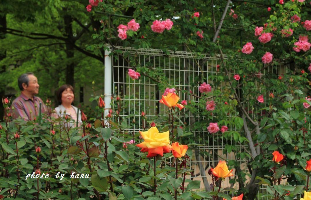 薔薇香る_f0297537_06512447.jpg