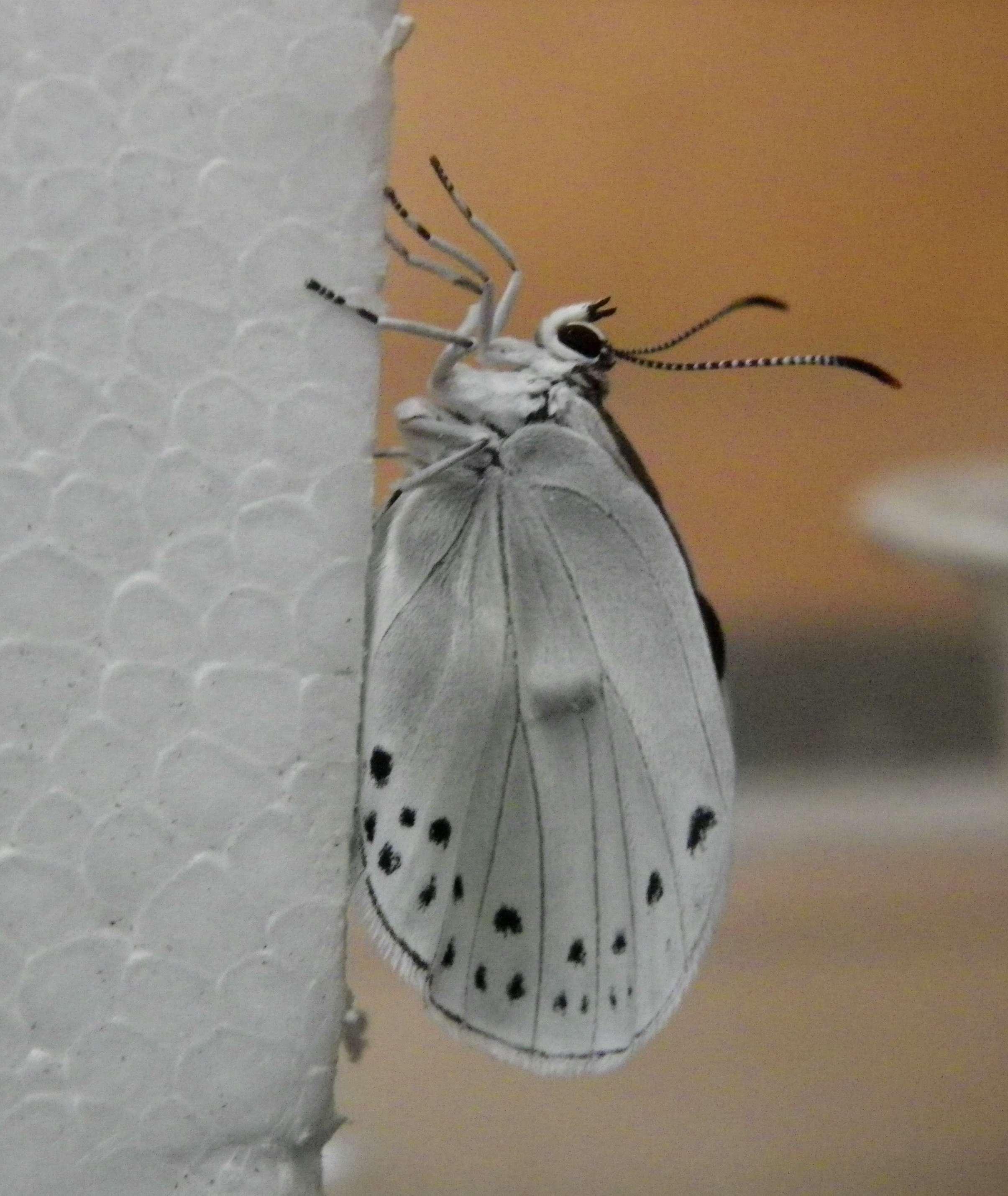 ウラゴマダラシジミの放蝶 5月13日_d0254540_16592551.jpg