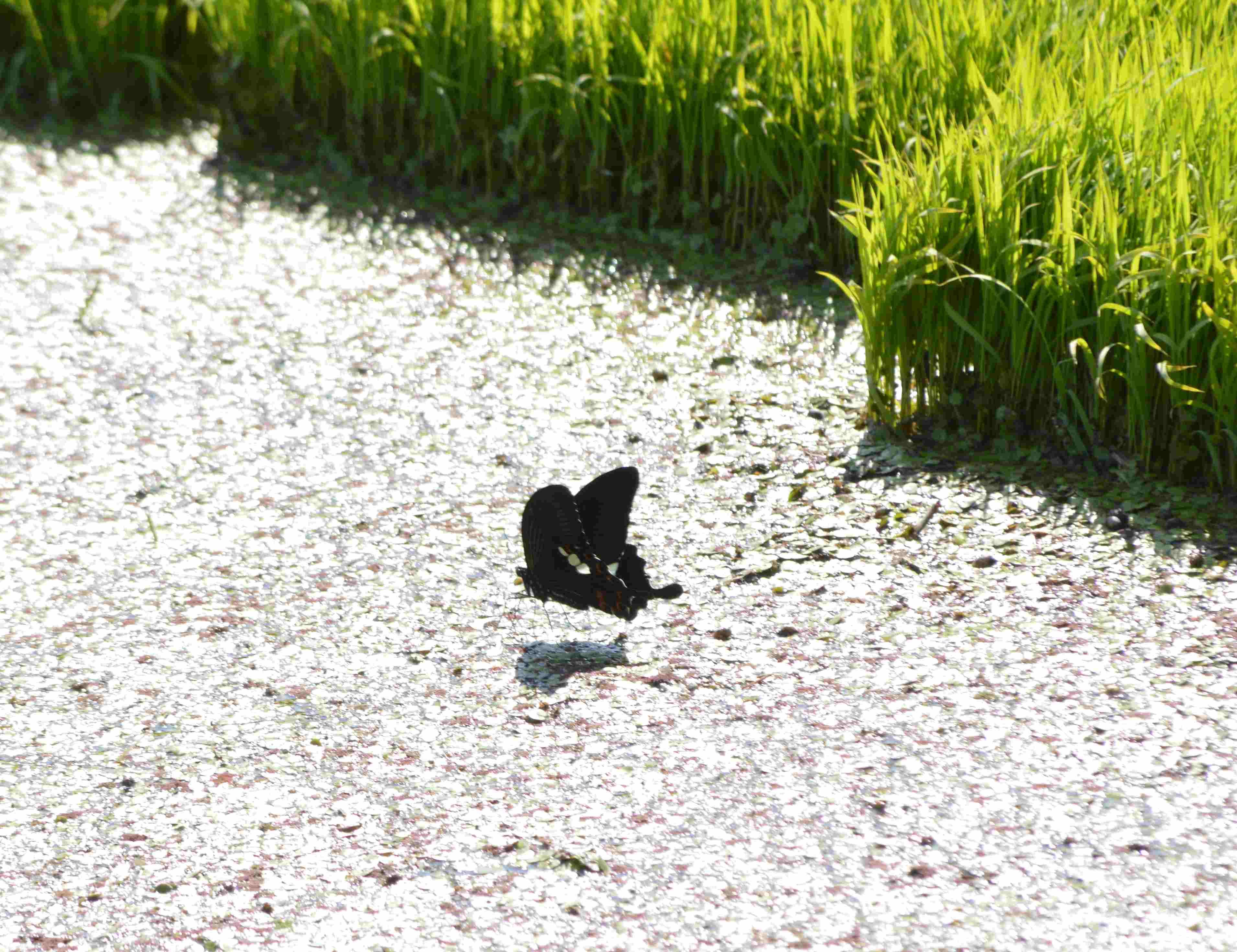 モンキアゲハの吸水 5月13日_d0254540_17385356.jpg