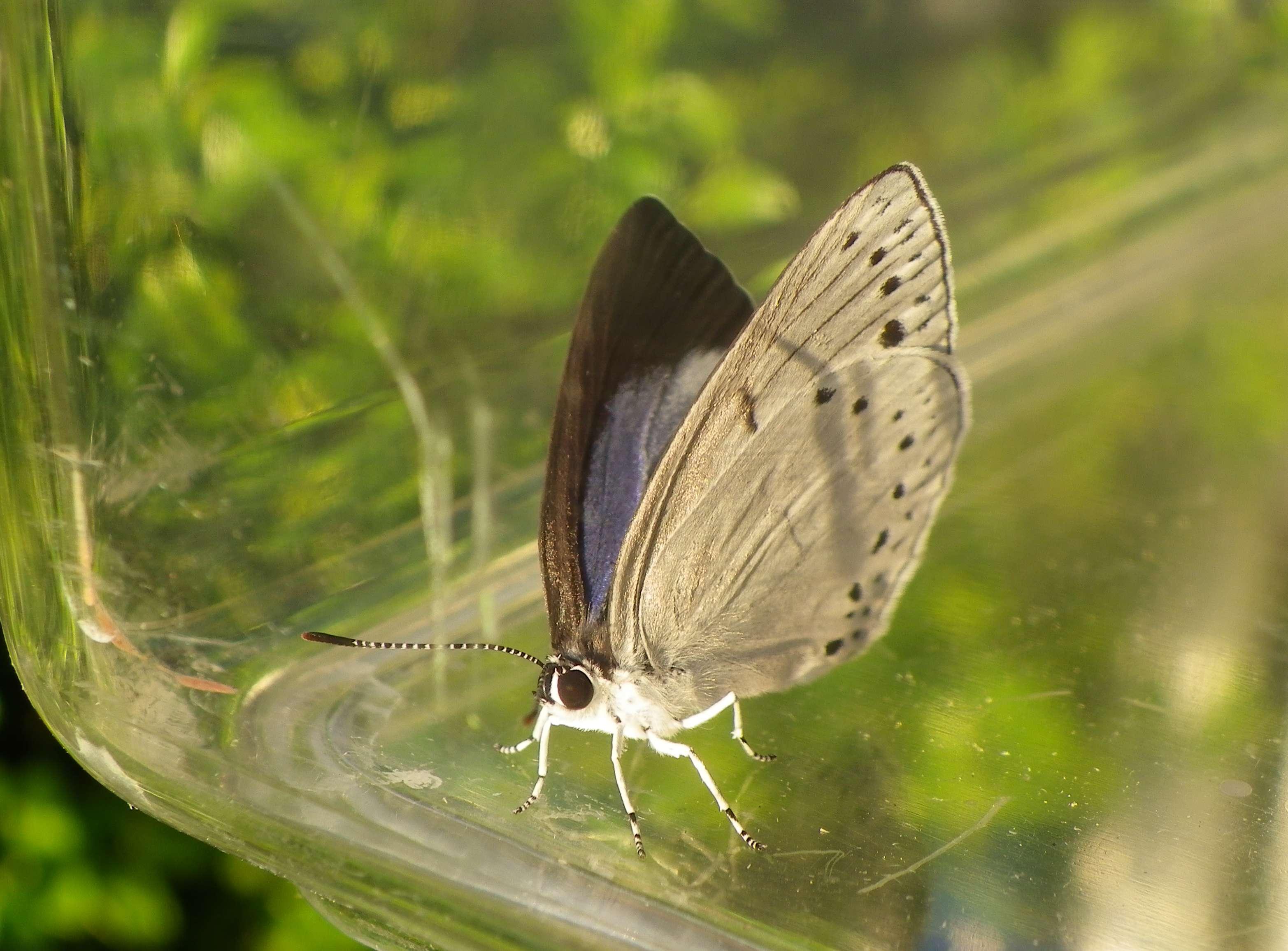 ウラゴマダラシジミの放蝶 5月13日_d0254540_1743556.jpg