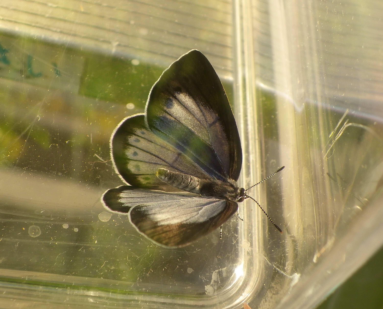 ウラゴマダラシジミの放蝶 5月13日_d0254540_1744655.jpg