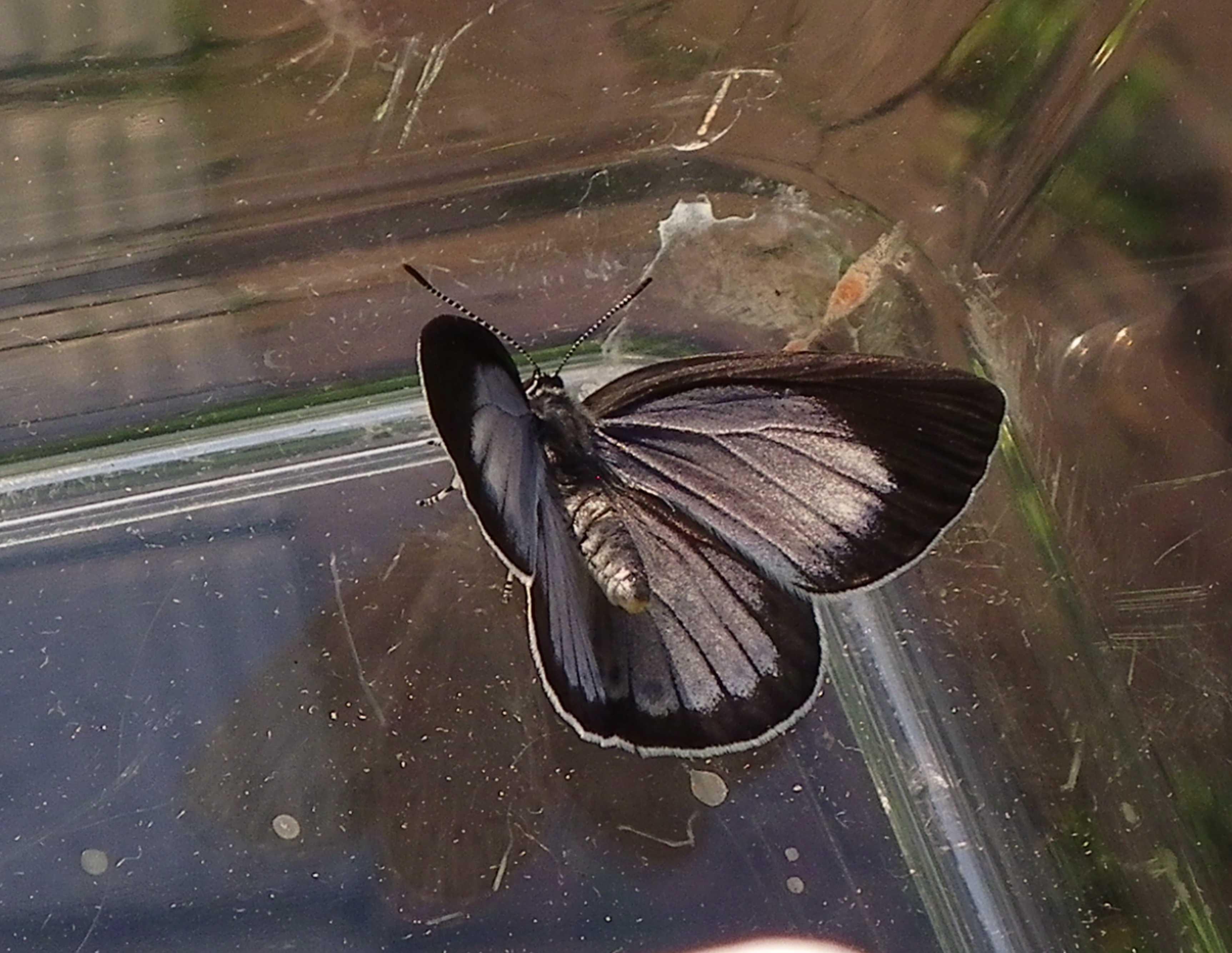 ウラゴマダラシジミの放蝶 5月13日_d0254540_1745552.jpg