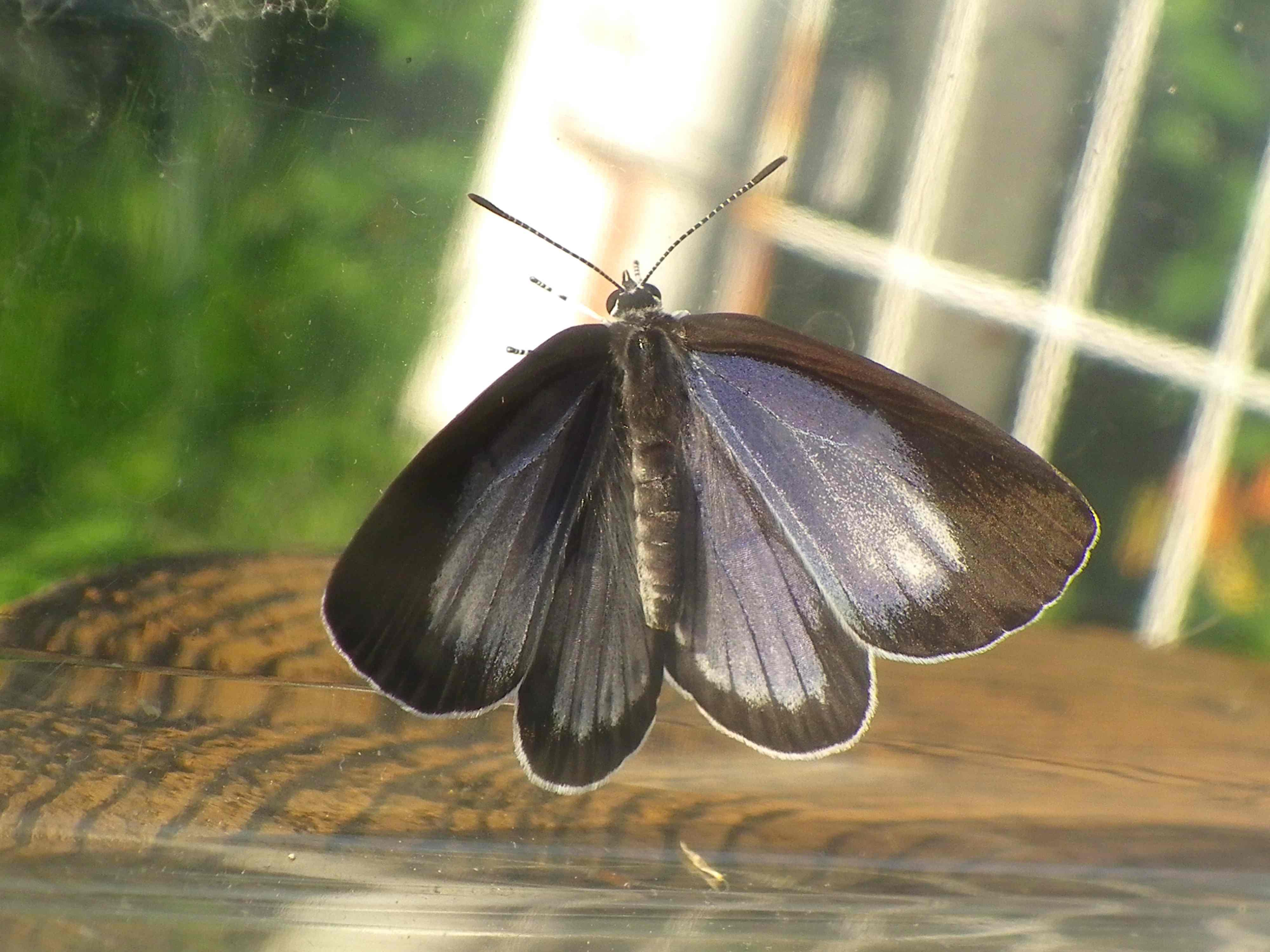 ウラゴマダラシジミの放蝶 5月13日_d0254540_1752486.jpg