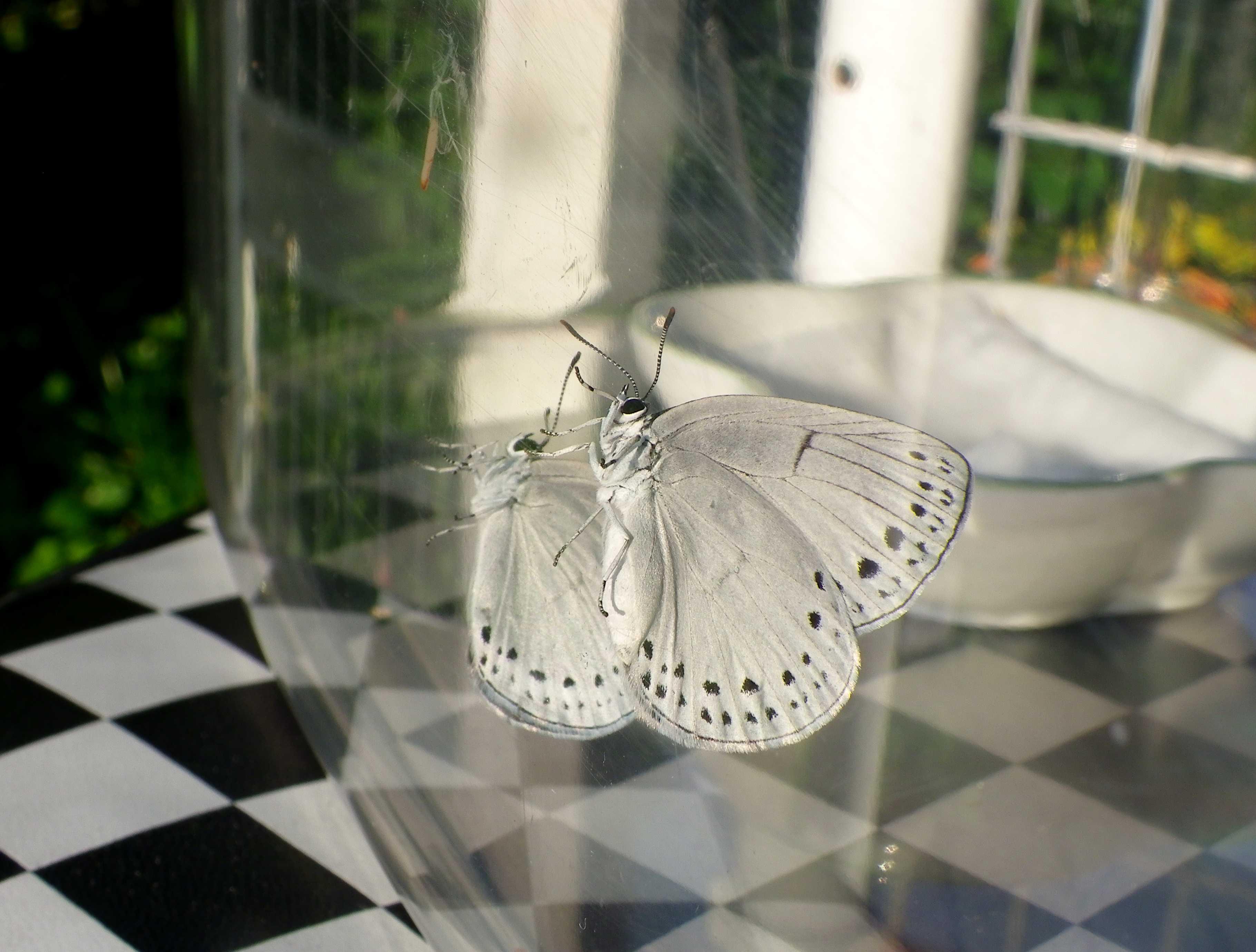 ウラゴマダラシジミの放蝶 5月13日_d0254540_1754379.jpg