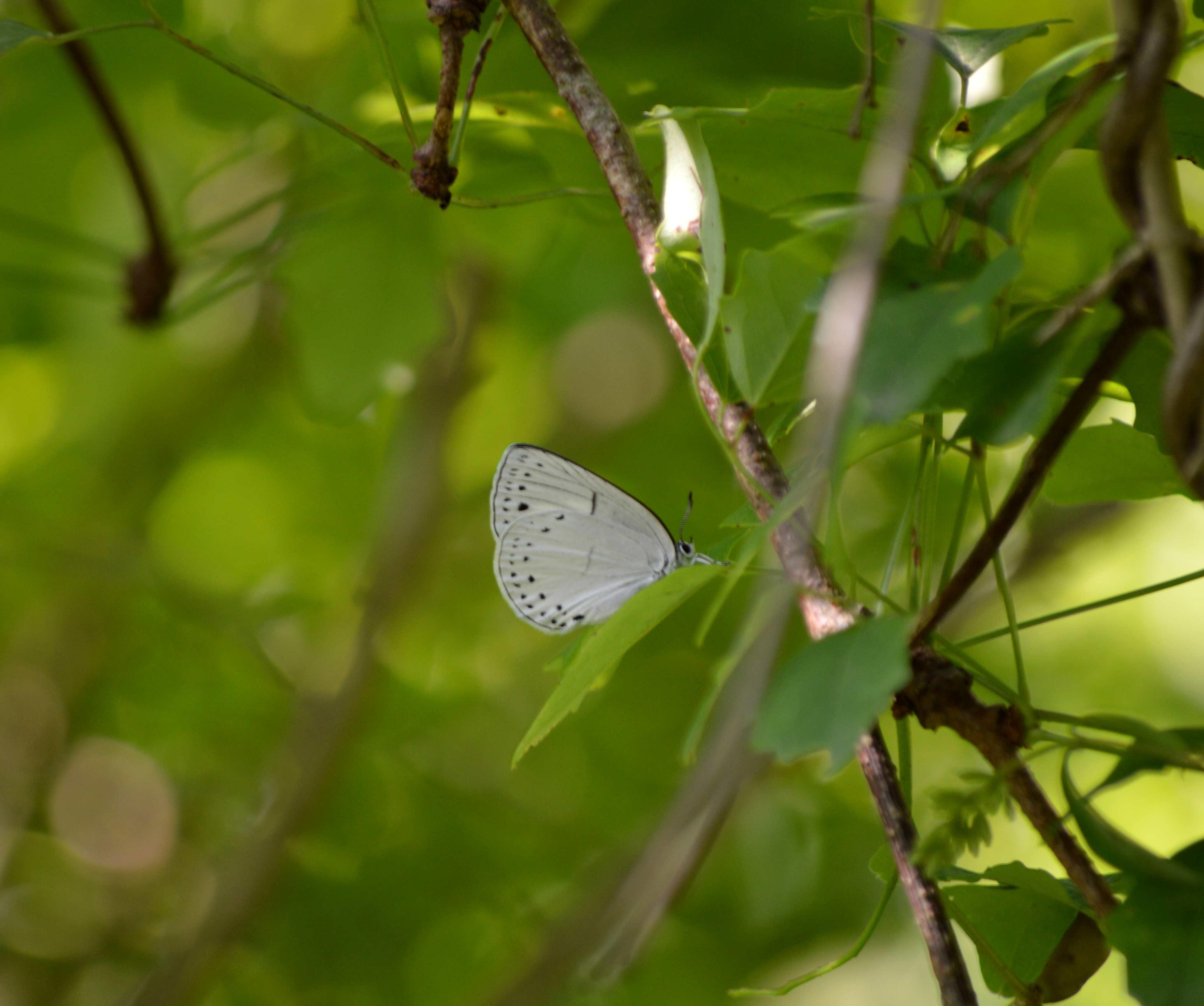 ウラゴマダラシジミの放蝶 5月13日_d0254540_178123.jpg