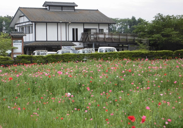田原ふるさと公園でポピーが見ごろだよ_c0171849_16384612.jpg