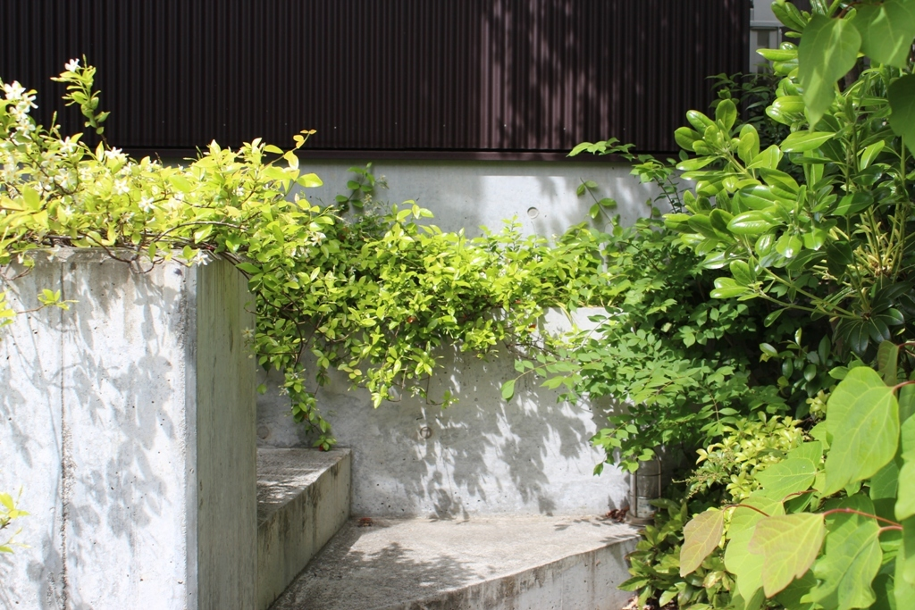 テイカカヅラ・シャリンバイの花_c0310571_06451289.jpg