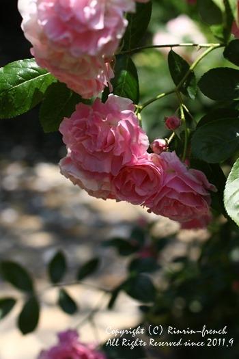 薔薇の咲く楽園へ・・・ange village_e0237680_1812712.jpg