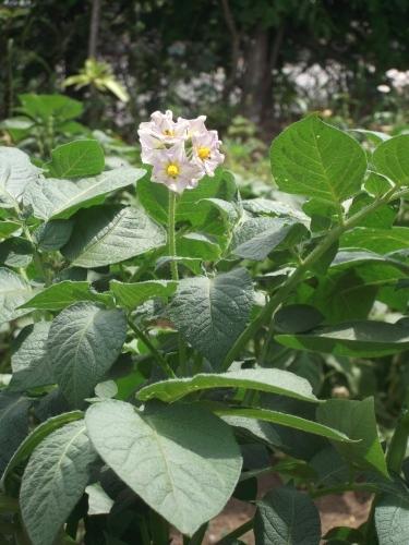 春野菜の花たち_f0334882_18542592.jpg