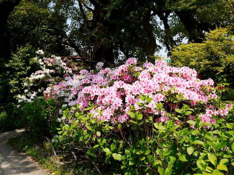 つつじ咲く和歌山城公園_b0093754_1945565.jpg