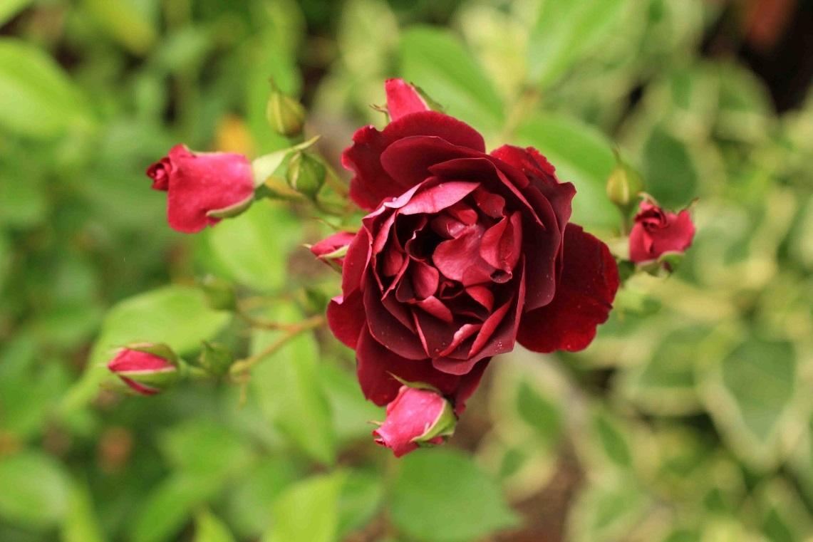 庭の薔薇 西-02 ~バーガンディーアイスバーグ~ _a0107574_15445524.jpg