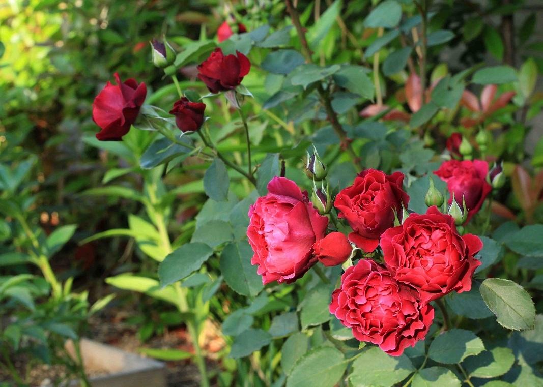 庭の薔薇 西-03 ~オデュッセイア~_a0107574_15575214.jpg