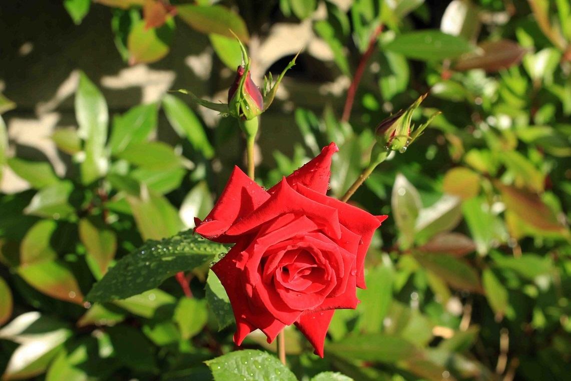 庭の薔薇 西ー06 ~アンクルウォルター~_a0107574_16090769.jpg