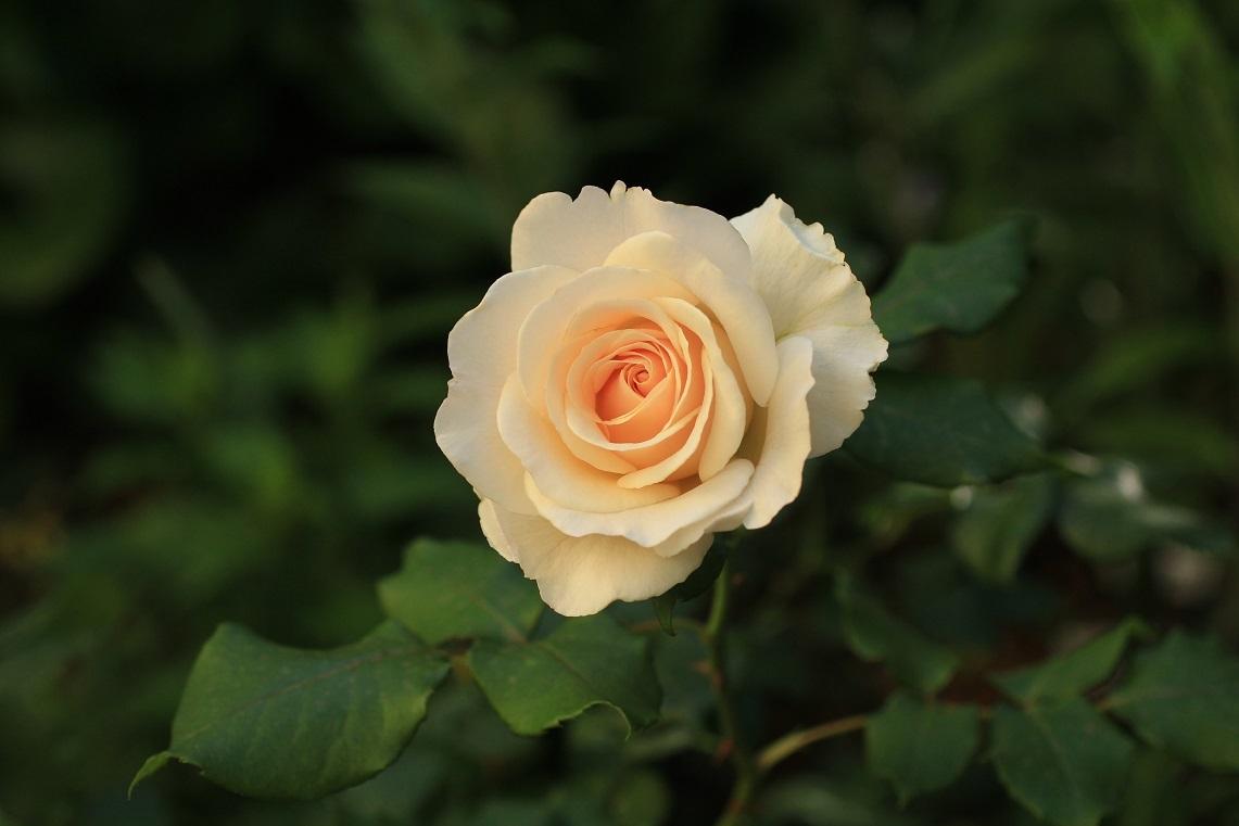 庭の薔薇 東ー01 ~フレンチレース~_a0107574_16175709.jpg