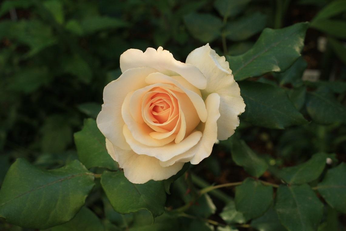 庭の薔薇 東ー01 ~フレンチレース~_a0107574_16180433.jpg