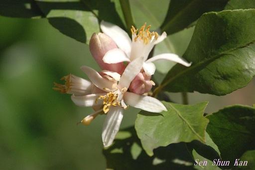 檸檬の花_a0164068_10433341.jpg