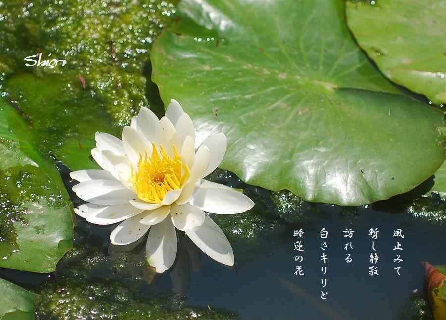 睡蓮の花_c0187781_18072728.jpg