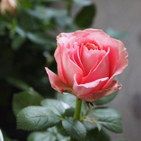 インフィニティーローズ、やっとお花を見れました_a0292194_20521540.jpg