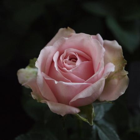 インフィニティーローズ、やっとお花を見れました_a0292194_2056731.jpg