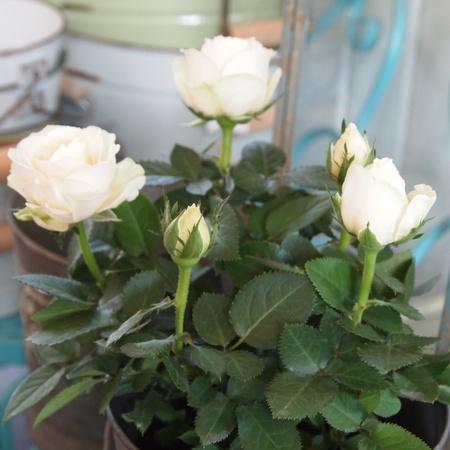 インフィニティーローズ、やっとお花を見れました_a0292194_2121391.jpg