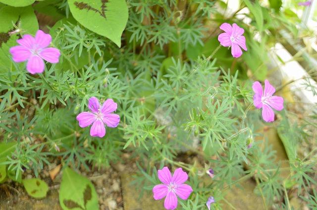 春のお手入れと庭の花_a0233896_1440952.jpg
