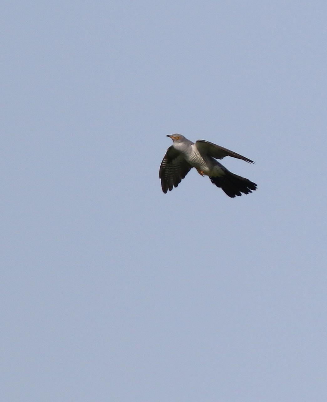 カッコウの飛び付きから飛び出しまで_f0296999_1646167.jpg