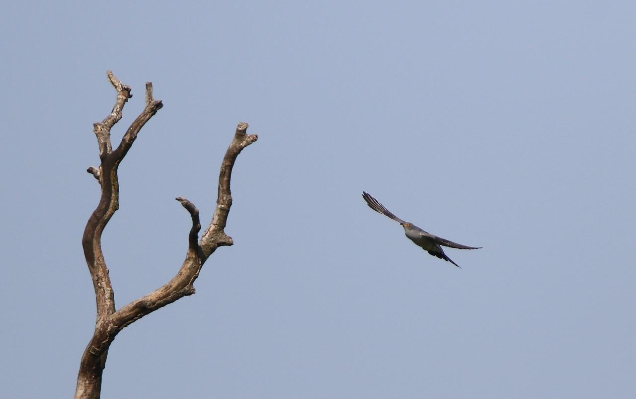 カッコウの飛び付きから飛び出しまで_f0296999_16462789.jpg
