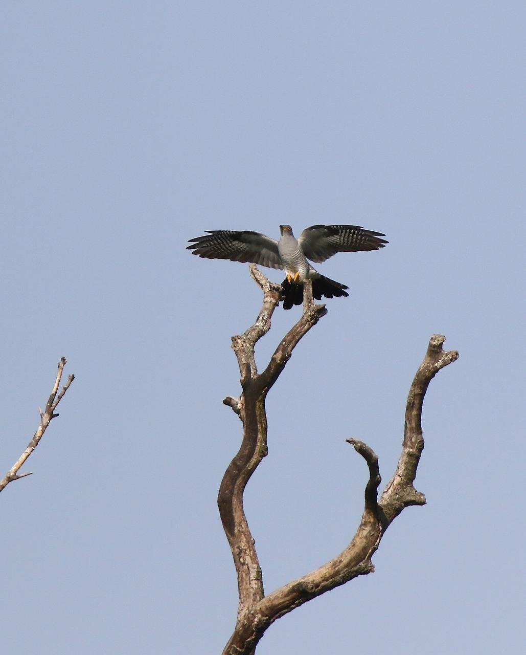 カッコウの飛び付きから飛び出しまで_f0296999_1646336.jpg