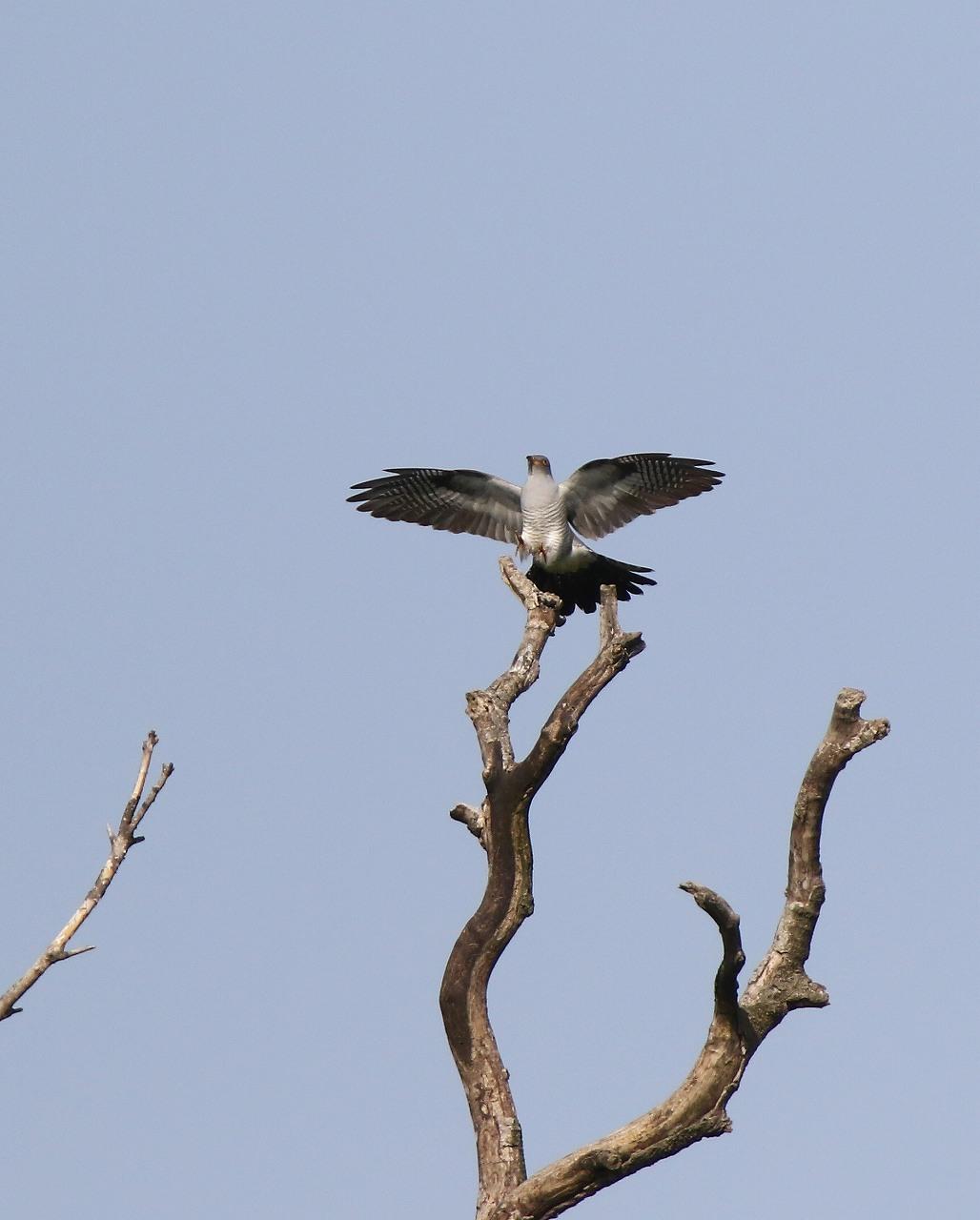 カッコウの飛び付きから飛び出しまで_f0296999_1646447.jpg