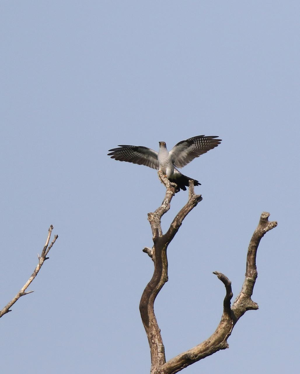 カッコウの飛び付きから飛び出しまで_f0296999_16465361.jpg