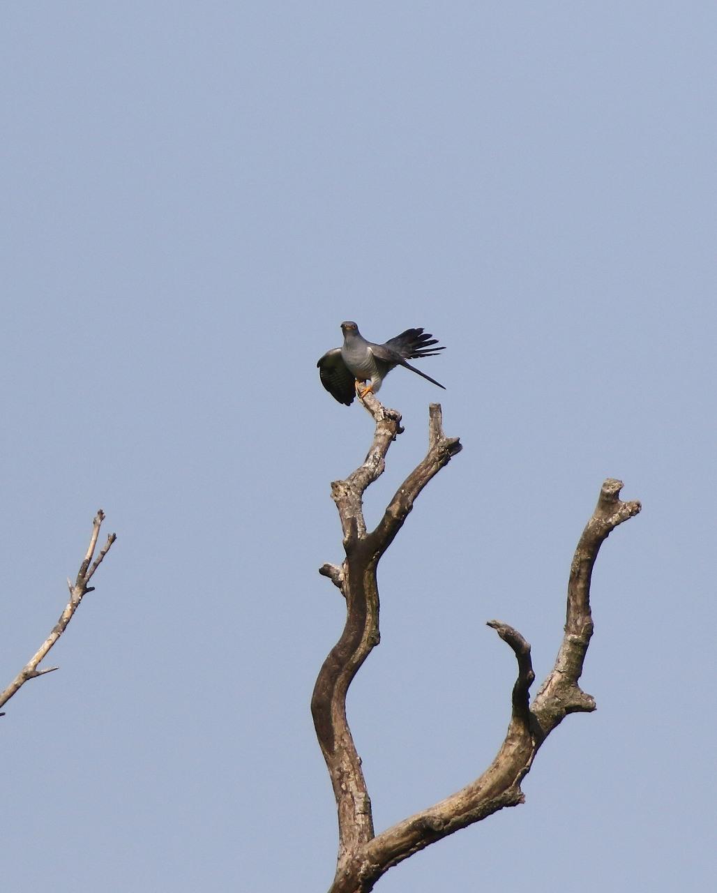 カッコウの飛び付きから飛び出しまで_f0296999_1647051.jpg