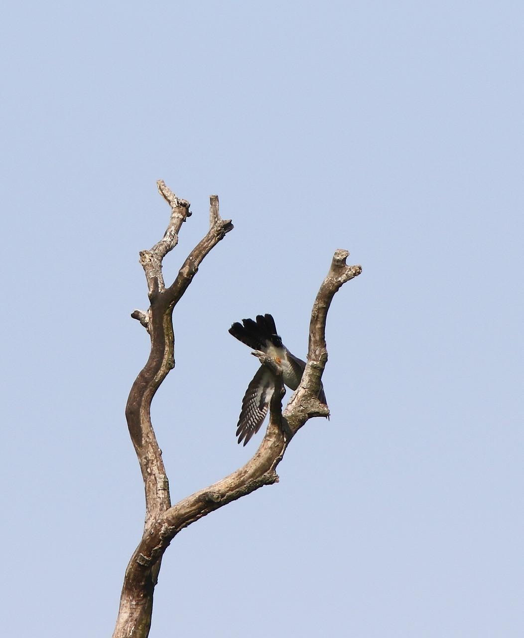 カッコウの飛び付きから飛び出しまで_f0296999_16471484.jpg