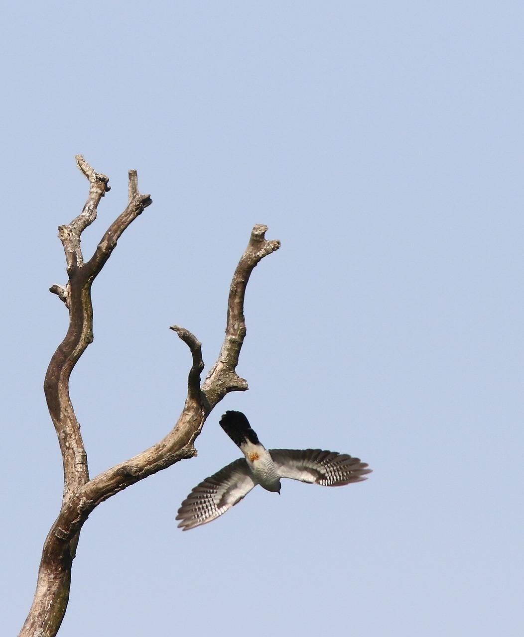 カッコウの飛び付きから飛び出しまで_f0296999_16472120.jpg