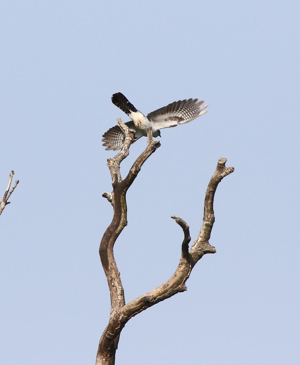 カッコウの飛び付きから飛び出しまで_f0296999_1647980.jpg